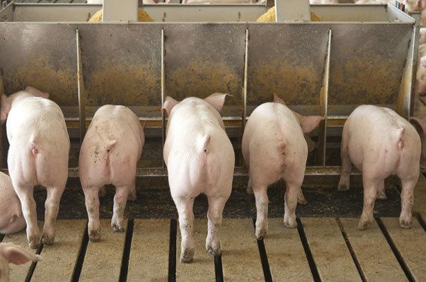 Быстрый откорм свиней в домашних условиях