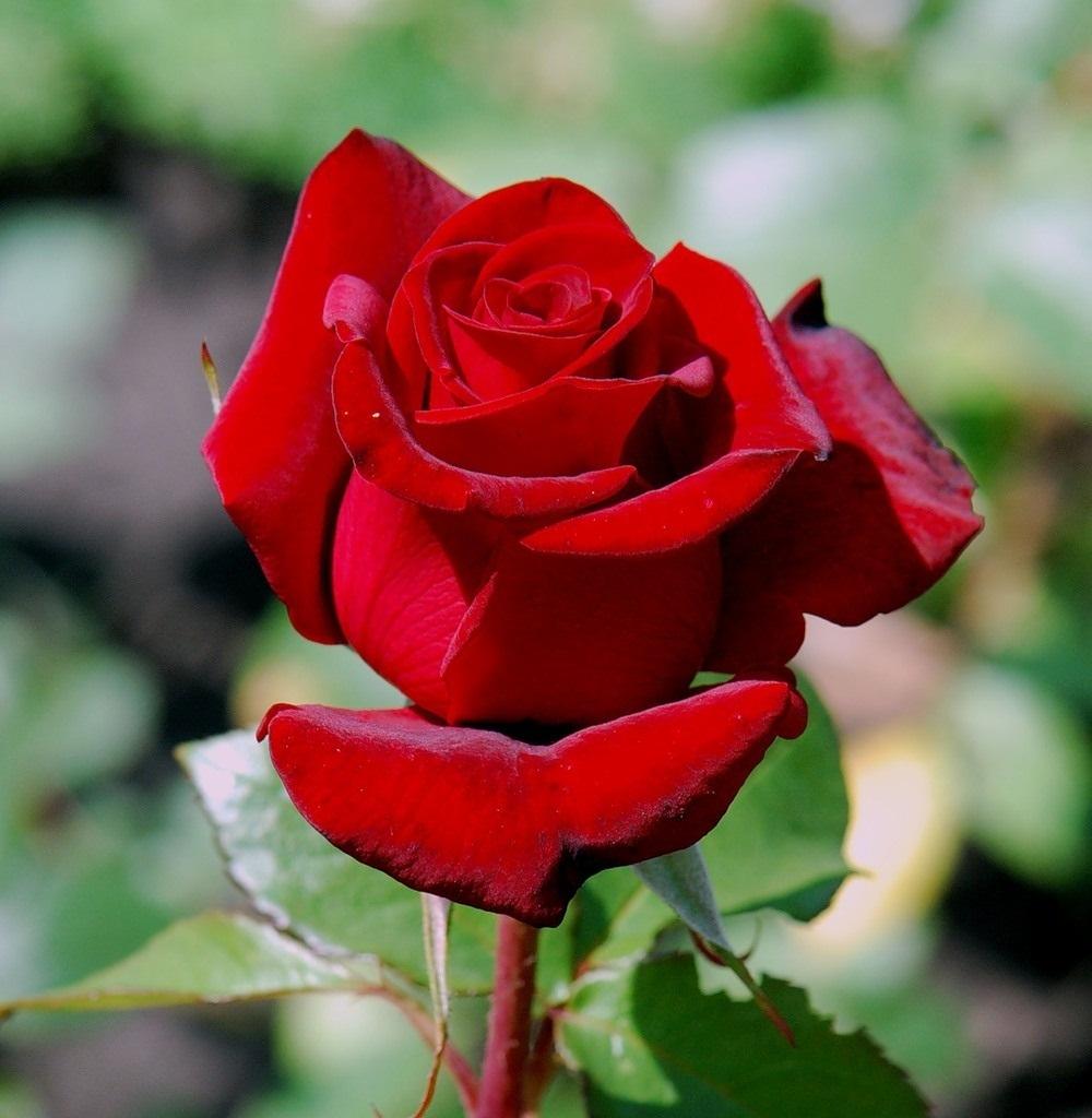 Самые красивые розы мира картинки