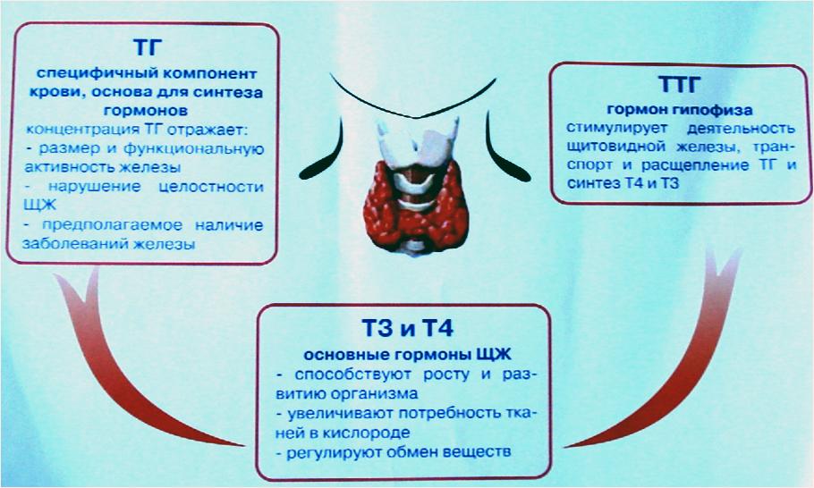 Гормон щитовидной железы похудение